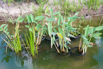 Alligator Flag - Aquatic Plant We Provide